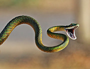 Mouth Photo Posters - Brightly Coloured Parrot Snake Poster by Suebg1 Photography