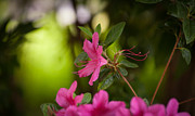 Rhodies Prints - Brilliant Beauty Print by Mike Reid