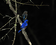 Eastern Bluebird Posters - Brilliant Blues Poster by Al Powell Photography USA