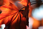 Backlit Leaf Prints - Brilliant Bronze Maple Leaf Print by Chris Hill
