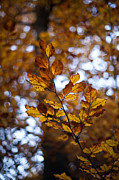 Fall Leaves Prints - Brilliant Leaves Print by Mike Reid