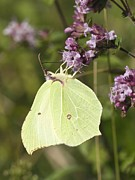 Eating Entomology Metal Prints - Brimstone Butterfly Metal Print by Adrian Bicker