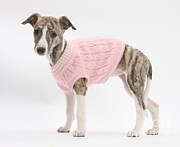 Dog Clothes Posters - Brindle-and-white Whippet Pup Poster by Mark Taylor