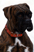 Boxer Pastels Framed Prints - Brindle Boxer Framed Print by Michelle Harrington