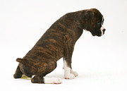 Urinating Framed Prints - Brindle Boxer Pup Urinating Framed Print by Jane Burton