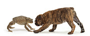 Brindle Photo Posters - Brindle Bulldog Puppy And Toad Poster by Jane Burton