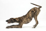 Lurcher Posters - Brindle Lurcher Poster by Mark Taylor