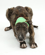 Brindle Prints - Brindle Lurcher Wearing A Bandage Print by Mark Taylor