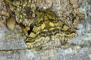 Blending In Prints - Brindled Beauty Butterfly Print by Dr Keith Wheeler