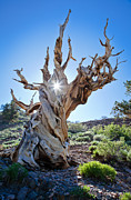 Pines Framed Prints - Bristlecone and sun Framed Print by Olivier Steiner