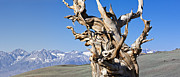 Olivier Photo Posters - Bristlecone Pine - Early Morning - 4 Poster by Olivier Steiner
