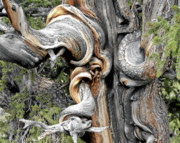 Usa Photo Originals - Bristlecone Pine - I am not part of history - history is part of me by Christine Till