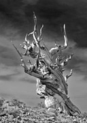 Lone Tree Prints - Bristlecone Pine - A survival expert Print by Christine Till