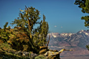 East Of The Sierra Nevada - Bristlecone Pine  by Albert Seger
