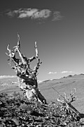 Pinus Prints - Bristlecone Pine and cloud Print by Olivier Steiner
