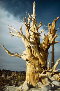 Living Tree Framed Prints - Bristlecone Pine Framed Print by David Parker