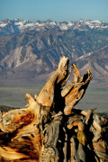East Of The Sierra Nevada - Bristlecone Pine Down by Albert Seger