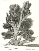Cone Originals - Bristlecone Pine by Mike Robles