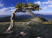 Mount Evans Framed Prints - Bristlecone Pine Mt Evans Colorado Framed Print by Tim Fitzharris