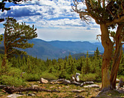 Oldest Living Tree Posters - Bristlecone Pine On Mount Evans Colorado Poster by Crystal Garner