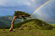 Oldest Living Tree Posters - Bristlecone Pine Rainbow On Mount Evans Colorado Poster by Crystal Garner