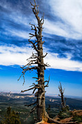 Highway 12 Framed Prints - Bristlecone Pine Framed Print by Robert Bales