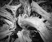 Bristlecone Pine Roots White Mountains Ca Print by Troy Montemayor