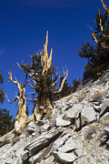 Pinus Framed Prints - Bristlecone Pine Trees Framed Print by Jeremy Walker