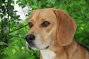 Beagle Photos - British Beauty by Christine Till