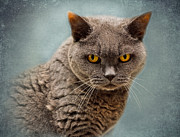 Shorthaired Prints - British Blue Shorthaired Cat Print by Louise Heusinkveld
