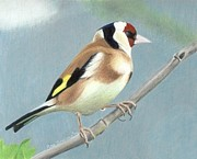 Goldfinch Drawings - British Goldfinch by Ana Tirolese