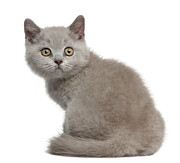 Looking Over Shoulder Posters - British Shorthair Kitten Poster by Life On White