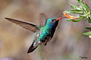 Hummingbird Originals - Broad-billed Hummingbird by David Salter