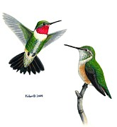 Kalen Malueg Drawings Posters - Broad-tailed Hummingbird pair Poster by Kalen Malueg
