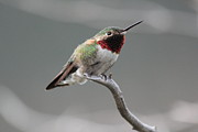 Broad Prints - Broad-Tailed Hummingbird Print by Shane Bechler