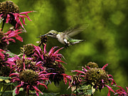 Broad Prints - Broad-tailed Hummingbird Print by Thomas Young