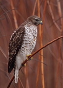 Bruce J Robinson - Broad-winged Hawk
