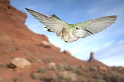 Flight Art - Broadtail and Desert by Gregory Scott