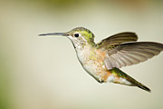 Female Animal Posters - Broad tailed hummingbird Poster by Jon Eichelberger