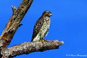 Bird Watching Prints - Broadwinged Hawk Print by Barbara Bowen