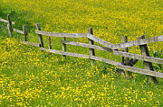 Flower Field Posters - Broken Fence And Buttercup Field Poster by Photos by R A Kearton