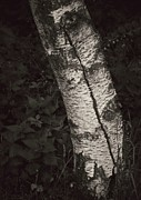 Birch Bark Tree Prints - Broken Skin Print by Odd Jeppesen