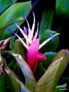 Bromeliad Framed Prints - Bromeliad 4 Framed Print by Brenda Alcorn