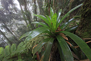 Bromeliad And Tree Ferns Colombia Print by Cyril Ruoso