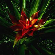 Bromeliad Digital Art Prints - Bromeliad Print by John Ater