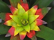 Bromeliad Framed Prints - Bromeliad Star Framed Print by Renu Anne
