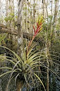 Florida Flowers Framed Prints - Bromeliad (tillandsia Fasciculata) Framed Print by Bob Gibbons