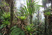 Epiphyte Photo Prints - Bromeliads And Tree Ferns  Print by Cyril Ruoso
