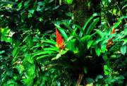 Puerto Rico Photo Prints - Bromeliads El Yunque  Print by Thomas R Fletcher