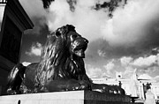 Trafalgar Framed Prints - bronze lion statue inTrafalgar Square London England UK United kingdom Framed Print by Joe Fox